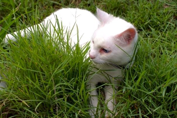 Cat in grass  - Be Paralysis Tick Prepared
