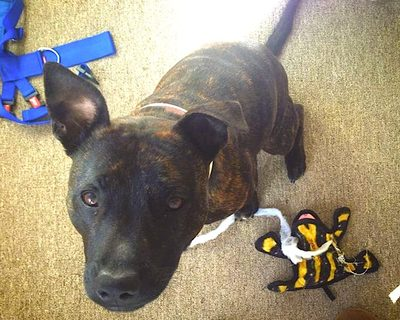 Staffie with broken toy