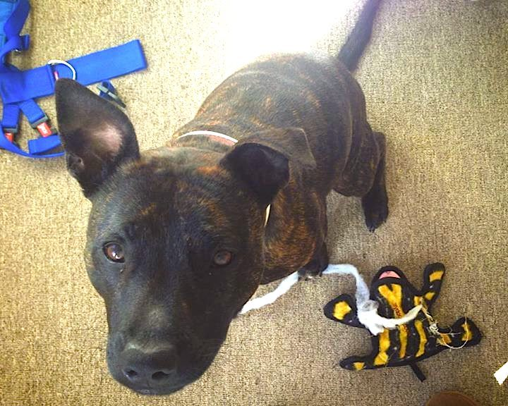 Staffie with broken toy  - Choosing Toys for Your Staffie