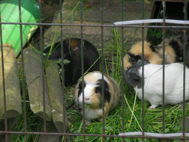 guinea pigs, grass  - How To Save on Small Creature Essentials