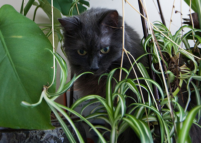 toxic plants, cat plants, dog plants